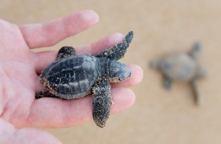 Kosgoda Sea Turtle Conservation Project copy