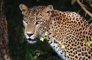 LEOPARD IN YALA NATIONAL PARK  copy